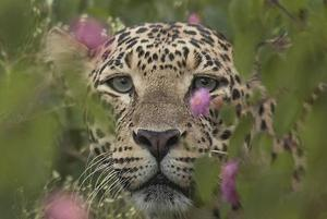 Wildbuzz: Love for leopards