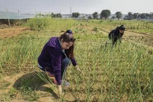 Photos: Gurgaon's urban communities farm on rented agricultural...