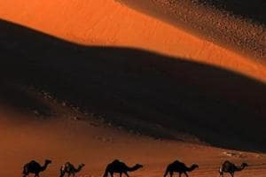 Camels smuggling unabated, 700 rescued in one year