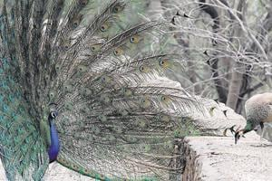 According to official data, 145 peafowls were sick and 28 died in Haryana in the period between July and September 2012.