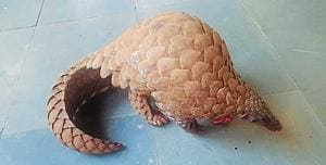 Two arrested for attempting to sell a Pangolin for ₹40 lakh near...