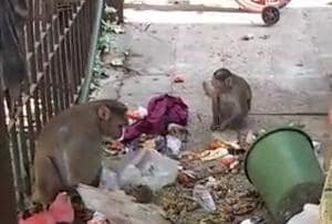 Monkey trouble rises in Mumbai region: Stop feeding them, says forest...