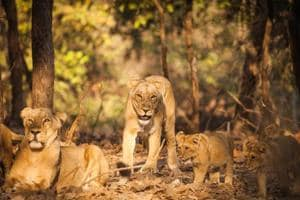 Siddis of Gir:The African-origin tribe that calls India home