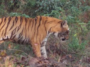 Yeda Anna, who died on Sunday, had sustained grievous injuries during a fight with another male tiger earlier last week.