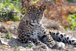 The mountain state is home to large number of leopards, and the big cats straying into the human habitation, especially rural areas, looking for prey is not unheard of.