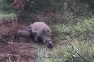 The rhino calf was crying next to her mother's dead body, at the Pilanesberg national park in SouthAfrica.