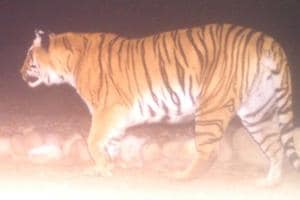 Camera trap image of one of the tigress.