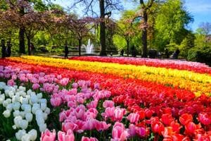 The breathtaking beauty of the Dutch tulip season will leave you...