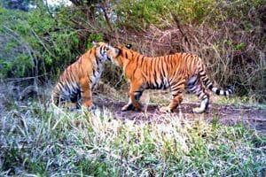A pair of tigers play inside Rajaji Tiger Reserve.