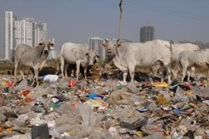 Cows feed on garbage dumped in the open by residents Sector 65 at Golf Course Extension Road in Gurgaon.