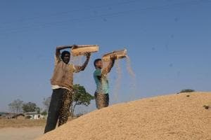 Farmers preparing their paddy crop at a village in Ranchi