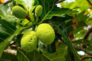 Say cheers: You may soon be able to drink whiskey made from breadfruit...