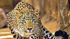Five poachers arrested near Mumbai after body parts of dead leopard...