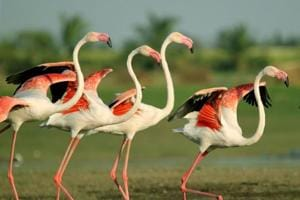 The greater flamingo is the most widespread species of the flamingo family.