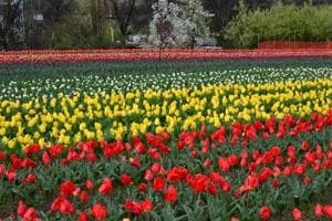What's new at Kashmir's famous Tulip Garden this year?