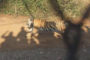 More camera traps to be installed to trace missing Sariska tigress