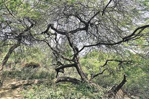 The population of kikar or Prosopis juliflora has gone out of control destroying the biodiversity in Delhi's ridges.
