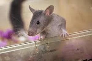 Study at Mumbai institute: Use more female animal specimens in labs for balanced findings