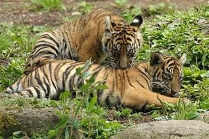There are only 3 breeding female tigers left at Sariska in the age group of 8-14.