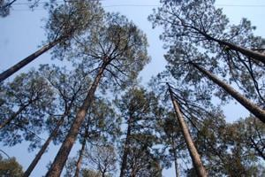 Blamed for forest fires, pine needles to be collected, sold