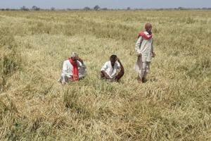 After Centre's nod, Rajasthan govt to buy mustard, gram at MSP
