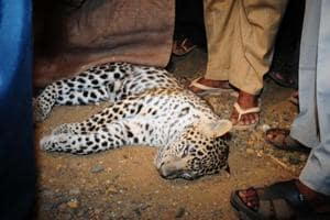 A leopard knocked down and killed by a speeding heavy vehicle on the Film City Road in Goregaon, Mumbai, in 2009.