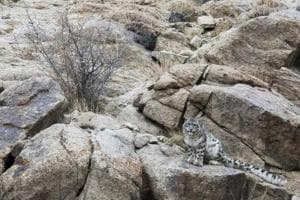 Photos: In Ladakh's Ulley valley, the snow leopard settles in