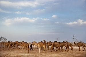 Photos: By the Dead Sea, Bedouin graze camels at Earth's lowest...