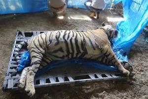 Sariska tiger died due to strangulation, cremated