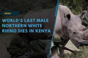 The world's last male northern white rhino, Sudan, has died after...