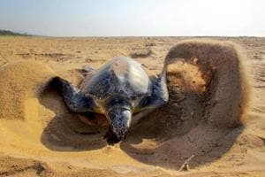 Photos: A unique bond between Olive ridley turtles and Odisha...