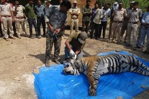 Sariska tiger's death no accident, farmer who surrendered is a...