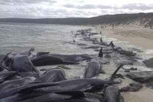 More than 150 whales got stranded in Western Australia. A rescue...