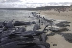 A supplied image of more than 150 short-finned pilot whales who became beached at Hamelin Bay, in Western Australia's south, on March 23, 2018. About 75 whales have died after beaching themselves, while another 50 are still alive on the beach and a further 25 are in the shallows.