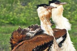 The-Nannaj-Sanctuary-is-home-to-Great-Indian-Bustards-GIB-the-largest-birds-in-their-native-range-with-long-necks-and-legs