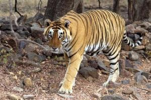 Day after poaching catch, activists  question tiger translocation