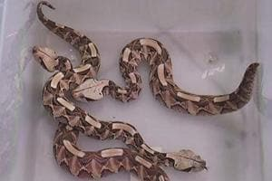 Gaboon vipers were among the animals rescued by authorities.