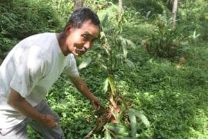 A farmer in Parakha shows the damage done to his cardamom plant by monkey.