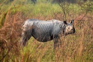 Photos: Rhino census shows numbers rising in Assam, activists raise...