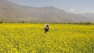 In pics: Kashmir Valley turns yellow, and how