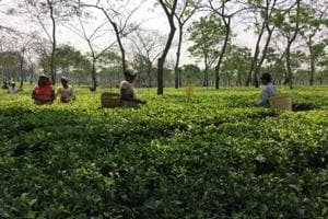 Women workers pluck tea leaves at Doyang Tea Estate in Assam's Golaghat district.