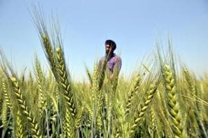 A farmer checking wheat crop at a village near Jalandhar. Even as the procurement began officially on Sunday, wheat will start arriving in the mandis by the second week of April.