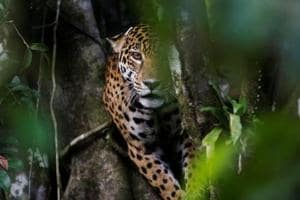 Photos: Brazilian jaguars adapt to life on trees evading Amazon floods