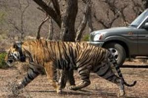 Three days after translocation, tiger RT-91 makes first kill in...