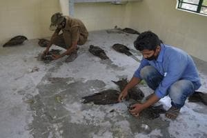 Around 50 black kites die mysteriously in 24 hours in Bengal's...