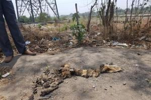 Golden Jackal killed in road accident in Mumbai