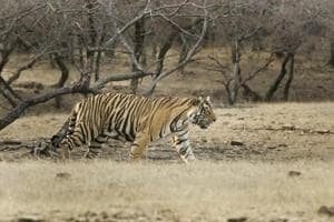 Two tigresses to join RT-91 in MHTR by month-end
