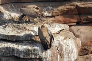 Researchers press for vulture conservation in Chambal valley