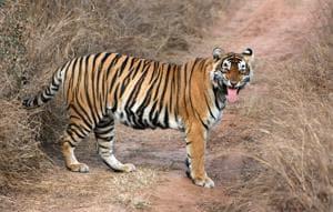 Sariska seeks WII assistance on missing tiger