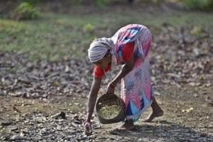 Photos: Making Mahua, wine from a flower sacred to Chhattisgarh tribes